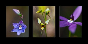 Tasmanian Orchids