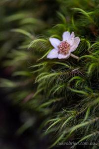 Tasmanian sassafras Atherosperma moschatum flower