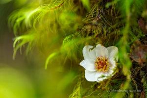 Tasmanian sassafras flower in the moss near Philosopher Falls