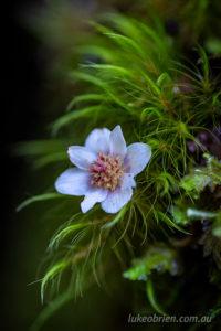 Moss and sassafras flower, Tarkine