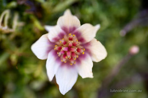 Close up of the sassafras flower