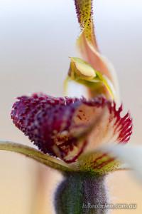 tasmanian spider orchid - Caladenia patersonii