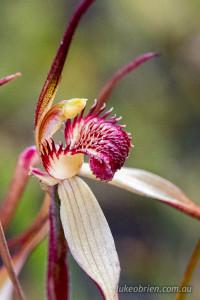 Spider orchid - Caladenia patersonii
