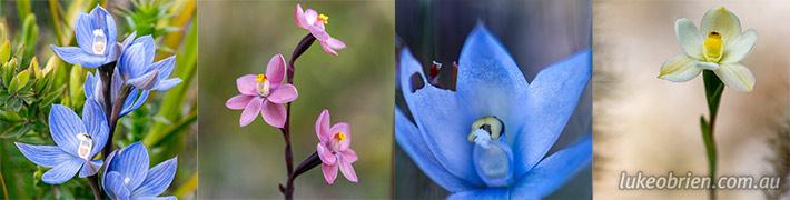 Tasmanian Orchids – Sun Orchid