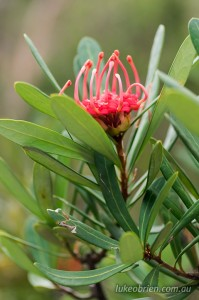 Tasmanian waratah, in full bloom