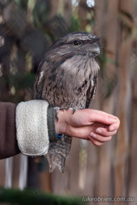 Rather content after a treat! Tawny Frogmouth at Tasmania's Raptor Refuge