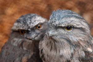 A couple of Tawny Frogmouths at Tasmania's Raptor Refuge