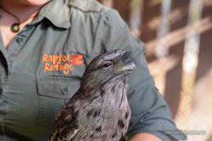 Tawny Frogmouth at Tasmania's Raptor Refuge