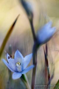 Thelymitra aggericola - bleak sun orchid