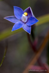 Sun Orchid in the Arthur Pieman Conservation Reserve