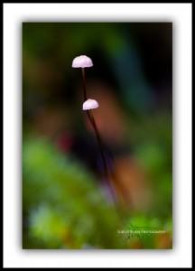 Tiny Toadstools, South West Tasmania