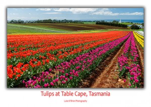 Table Cape Tulip Festival Tasmania