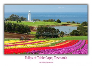 Tasmanain Postcards - Tulips at Table Cape