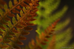 Fern detail, Upper Florentine Valley