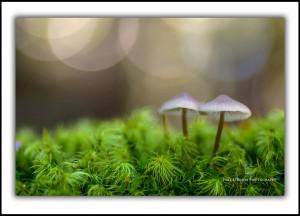 L 122: Tasmanian fungi. Upper Florentine Valley