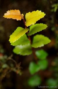 Myrtle leaves