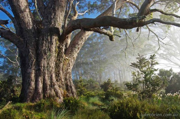 Eucalypt and Mist in Tasmania's Vale of Belvoir