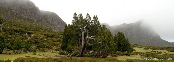 Pencil Pine in Tasmania's Walls of Jerusalem National Park