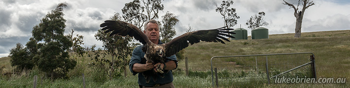 Wedge Tailed Eagle release by Raptor Refuge of Tasmania