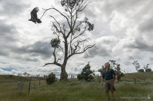 Wedge tailed eagle release, Raptor Refuge Tasmania