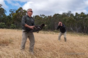 Wedge Tailed Eagle release Tasmania