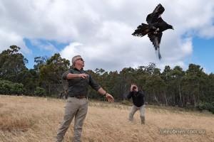 raptor release tasmania raptor refuge