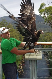 Wedge Tailed Eagle, release 16/1/2013. Tahune Airwalk.