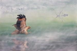 Tasmanian wildlife art - Hazel Howie