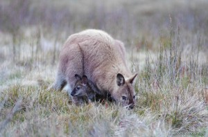 Tasmanian wildlife - Wallaby and joey