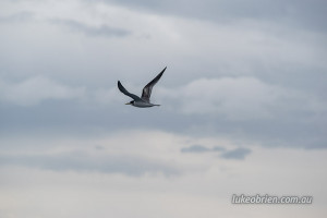 Crested Tern, Wineglass Bay Cruise