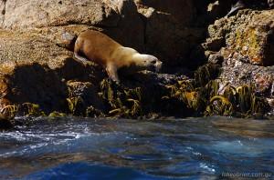 Wineglass Bay Cruise - Australian Fur Seal