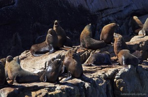 Wineglass Bay Cruise - Australian Fur Seals