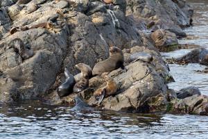Seals laze in the sun off the Freycinet Coast