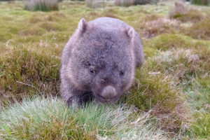 Tasmanian bare-nosed wombat at Cradle Mountain