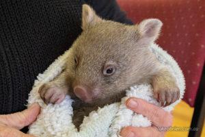 Wombat Rescue Tasmania