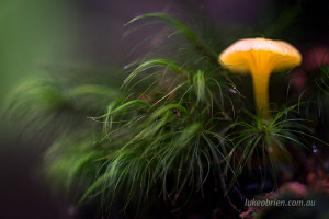 Yellow autumn fungi, Philosophers Falls Tarkine